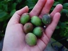 Anna Kiwi Seeds! Grows 100 #'s of fruit per plant! NO FUZZ -SUPER SWEET MINI'S!