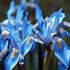 30+ Dark Blue Iris Missouriensis Flower Seeds / Perennial (Perennials Blue Flowers)