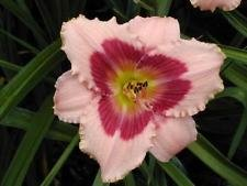 Hemerocallis - Daylily - Wineberry Candy - 1 Live Plant - DEEP Quart Pot