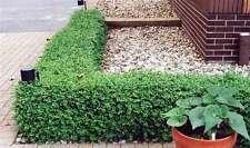 Green Gem Boxwood - quart pot size of GREEN GEM BOXWOOD - No Maintenance Evergreen - LIVE PLANTS