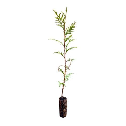 Cedar Red Trunk Tree - Western Red Cedar | Medium Tree Seedling | The Jonsteen Company