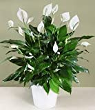 LIVE GREEN Peace Lily Indoor Plants