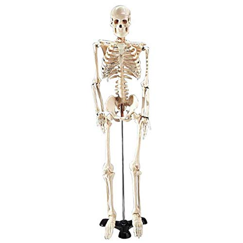 Anatomical Chart Co. - Mr. Thrifty Skeleton with Stand - -