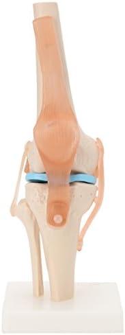 7ウェルネ 膝関節模型 実物大 [ 人体模型 骨格模型 骨格標本 骨模型 骸骨模型 人骨模型 骨格モデル 人体モデル ヒューマンスカル 人体 骨格 骸骨 ガイコツ 模型 可動 靭帯 膝関節 教材 実験 整体院 鍼灸院 ]