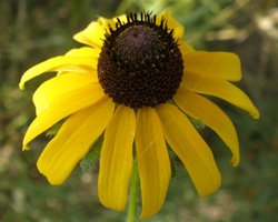 Davids Garden Seeds American Native Black-Eyed Susan NS0026 (Yellow) 500 Open Pollinated Seeds
