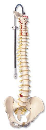 3B Scientific Classic Flexible Spine