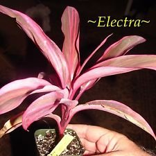~ELECTRA~ TI PLANT Cordyline terminalis DELUXE COLOR Foliage Small Potted (Electra Colours)