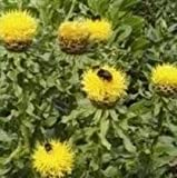 Centaurea macrocephala - Cornflower Lemon - 50 Seeds