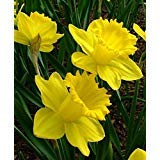 Trumpet Daffodil Improved King Alfred (Pack of 12 Bulbs) Perennial, Zones-9 ()