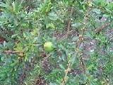 Argan Seeds (Argania spinosa) + Free Bonus 6 Variety Seed Pack