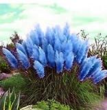 Blue Pampas Grass Cortaderia Selloana Flower 1000 SEEDS Super Sale
