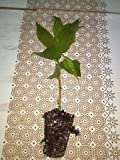 Jamaican Cherry aka Strawberry Tree Muntingia calabura live healthy plant