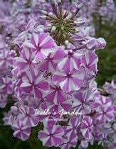 100pcs Multi-Colores de la montaña Phlox Semillas Semillas plantas resistentes Linanthus Grandiflorus flor exótica Semillas ornamentales Flores Bonsai 08