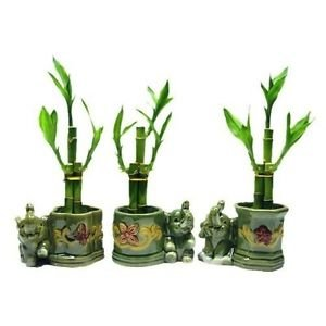(Plant 3 Sets Lucky Bamboo Arrangements in 3 Different Shapes Vase with Elephant)