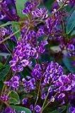 10 Seeds Hardenbergia violacea (Alba) Purple Coral Pea, Lilac Vine