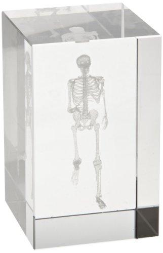 3B Scientific Medart Glass Block Skeleton Model, 2