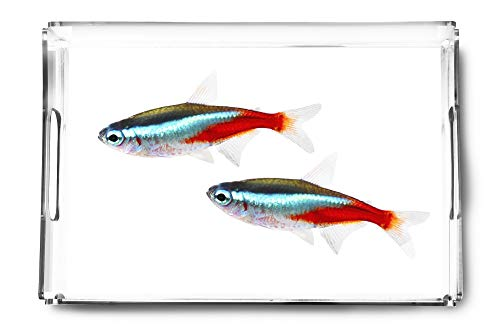Pair Of Neon Tetra Paracheirodon Innesi Freshwater Fish Isolated On White Background Photography A-91385 (Acrylic Serving Tray)
