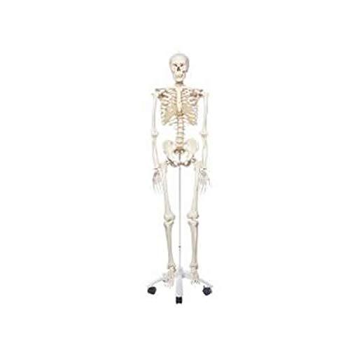 新発売の 人体骨格模型 A10 A10 B07HCKCSNV 人体骨格模型 B07HCKCSNV, KYOWA(共和)Gift&Shopping:95f6e802 --- a0267596.xsph.ru
