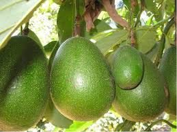 Very Cold Hardy Grafted Avocado Tree, Down to 18 Degrees F When Mature, Fantastic, Joey, Lila, Pancho 2' to 3' Tall w/ 3 Gallon Pot. with Free Organic Fertil. & Plant. Instructions. (Fantastic) (Best Time To Plant Fruit Trees In Arizona)