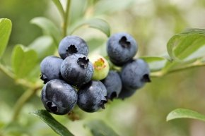 Heidelbeere 'Duke' - Vaccinium corymbosum 'Duke' - Leckere Kulturheidelbeere von Native Plants