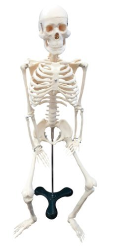 Ajax Scientific Plastic Human Skeleton Plastic with Metal Scientific Stand 67 [並行輸入品] Height [並行輸入品] B07N8DCBKS, ミックスマート:dc1d9669 --- 2017.goldenesbrett.net