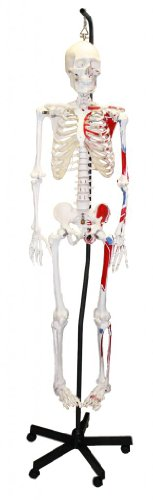 Hanging Arm Cast - Walter Products B10200H Human Skeleton Model with Muscles Colored and Labeled, Hanging, Full Size 66