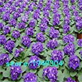 200 pcs/bag,African Violet seeds,Saintpaulia ionantha Wendl ,flower seed, variety complete, the budding rate 95%, (Mixed colors)
