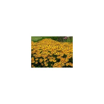 26, 000 Black Eyed Susan Seeds : Garden & Outdoor