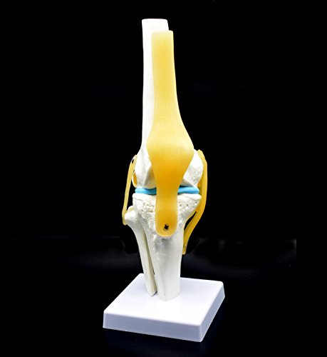 Human Knee Joint Model with Ligaments, Flexible, Anatomically Accurate Knee Skeleton Model Life Size Human Skeleton Anatomy for Science Classroom Study Display Teaching Medical Model 12.2 Inch Hight