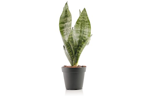 Set of 4 Indoor Plants - Live Potted Plants for Your Home or Office - Includes Red Aglaonema, Snake Plant, Philodendron, and Peace Lily - Great for Interior Decorating and Cleaning the Air by BDWS (Image #2)'