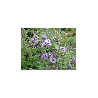 Mentha pulegium Pennyroyal Fragrant Leaves Seeds! : Garden & Outdoor