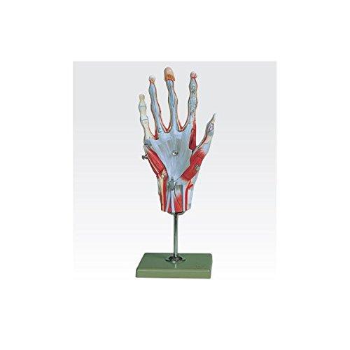 手の筋肉解剖模型/人体解剖模型 (5分解) 実物大 合成樹脂製 J-114-1   B077JPFSN4
