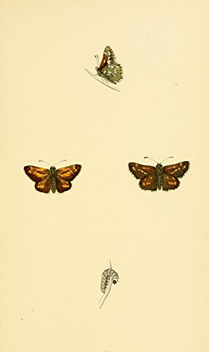 History of British Butterflies 1853 Silver-Spotted Skipper Poster Print by Unknown (18 x 24)