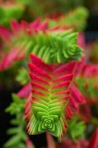 (Crassula Capitella Thyrsiflora ~RED Pagoda~ Lovely Succulent Cutting)