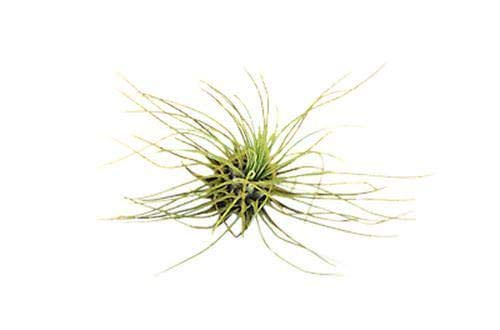 Bulk 50 Air Plants Variety Pack (25 Ionantha, 25 Fuchsii) / Wholesale