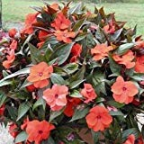 Impatiens Seeds 25 New Guinea Impatiens Orange Bronze Leaf Seeds