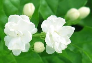 Jasmine Mix - Promotion!!! Mix Jasmine flower seeds 50pcs/pack white jasmine Seeds, fragrant plant arabian jasmine seeds