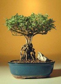 Bonsaiboy Flowering Mount Fuji Serissa With Raised Roots Serissa Foetida