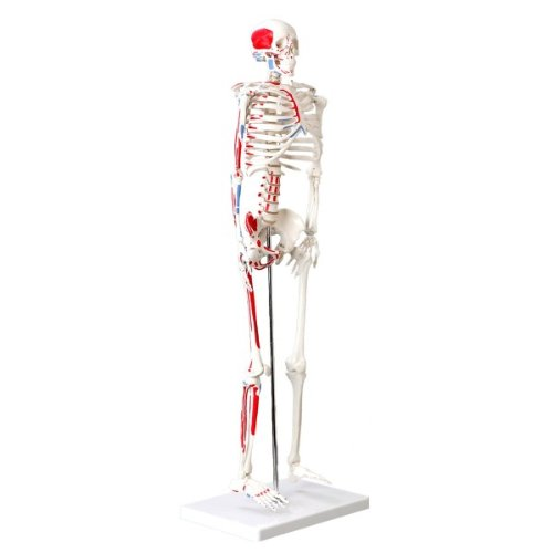 Wellden Product Muscular Skeleton Model, 1/2 Life Size, 85cm, Muscle Painted, Numbered