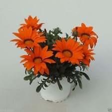 Gazania Seeds- GAZOO ORANGE with Ring- Brilliant 3 inch,Orange daisylike Flowers (25 seeds)