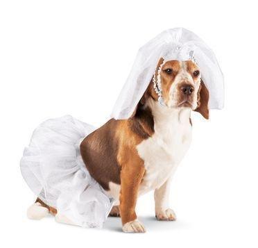 Bride Dress Up Dog Halloween Costume (Small)  sc 1 st  Amazon.com & Amazon.com : Bride Dress Up Dog Halloween Costume (Small) : Pet ...
