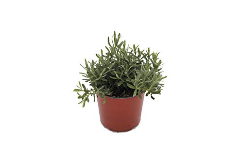 Lavender 'Munstead' Herb Plant (Pack of 6) by Dutch Country Classics (Image #2)
