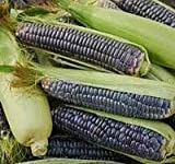 Corn Blue Minature Popcorn Great Heirloom Vegetable 20 Seeds