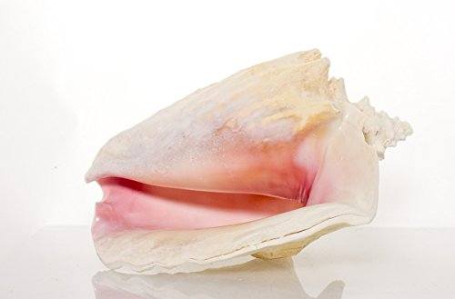 SEASATIONALS Large Natural Real Sea Shells - Huge Decorative Display Pink Conch Slit Back 8-9 inch Sea Shell- This Jumbo Seashell is Perfect for Shell Collectors or Beach Theme Décor