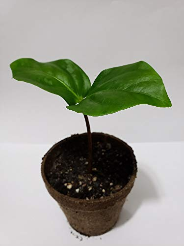 Black Sapote Diospyros Nigra Chocolate Pudding Plant Tropic Fruit Tree 10-13