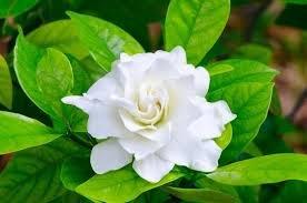 Corsage Gardenia Plant - Gardenia grandiflora - 4'' Pot