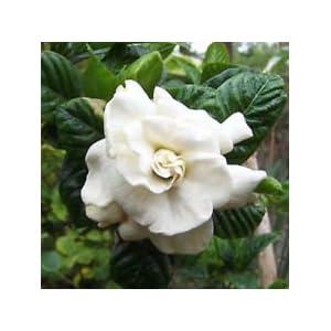 GARDENIA JASMINOIDES fiori profumati gelsomini vaniglia profumo 100+ semi 31ufslHKCUL. SS300