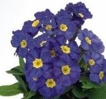 Polyanthus  Crescendo Blue Shades  10 Seeds