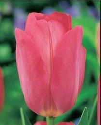 LORTOLANO BULBI da Fiore di Tulipano VARIETA Darwin