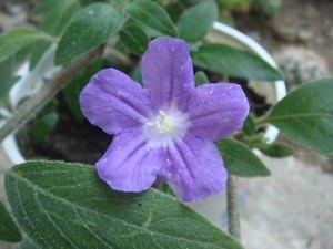 Amazon Com 100 Wild Purple Petunia Fringeleaf Ruellia